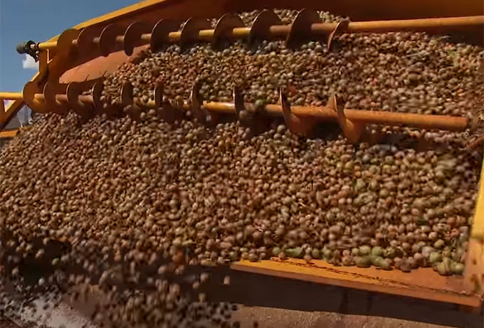 Harvest, cleaning, drying, hulling